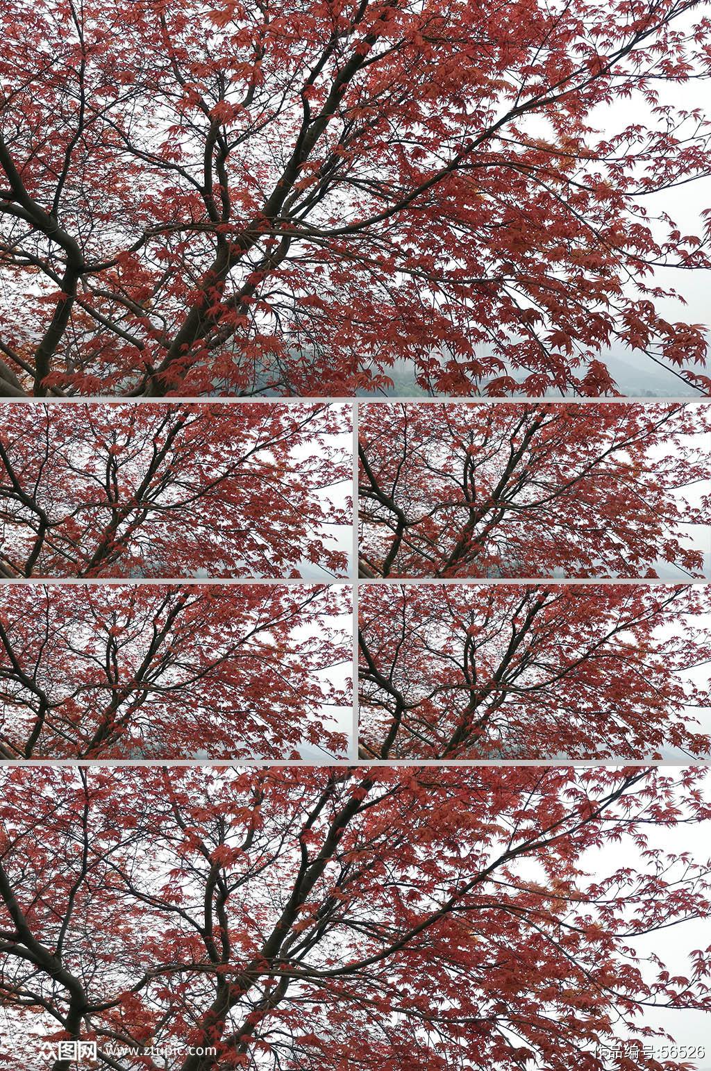 红色枫叶实拍素材4K素材