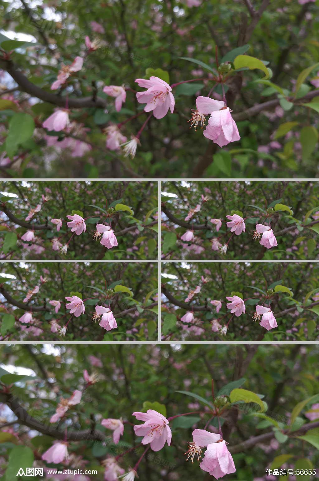 樱花特写实拍素材4K素材